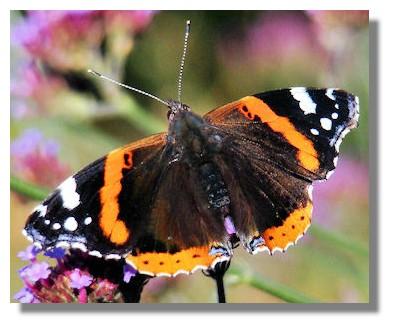 Butterflies of Scotland - Red Admiral