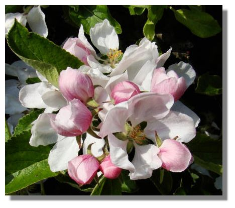 The pink on the outside of the petals of the apple blossom adds to the