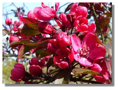 Apple Blossom. It's always difficult to know whether trees in bloom at this