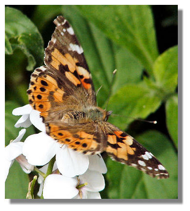 Each year, the Painted Lady butterfly spreads northwards from the desert