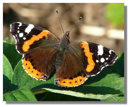 Admiral Indian Red Wallpapers Red Admiral Butterfly