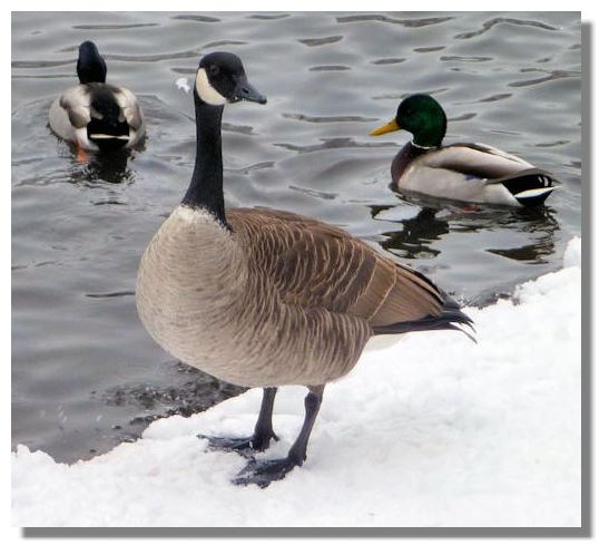 colors of a canada goose