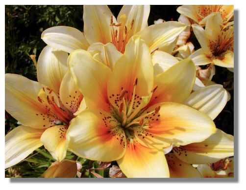 different types of lillies pictures to pin on   pinsdaddy, Beautiful flower