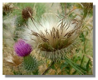 A blue thistle at Wye, England. Today I received a lovely package from Blue,