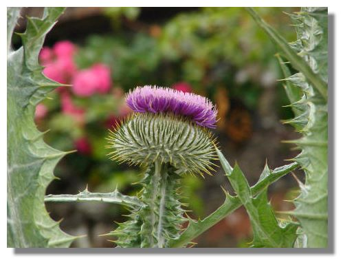 there are many different varieties of thistle growing in Scotland.