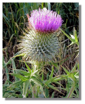 Although thistles can be found all across the UK and Ireland, it has become