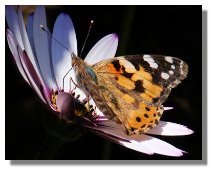 Painted Lady Butterflies As can be seen from the illustrations on this page,