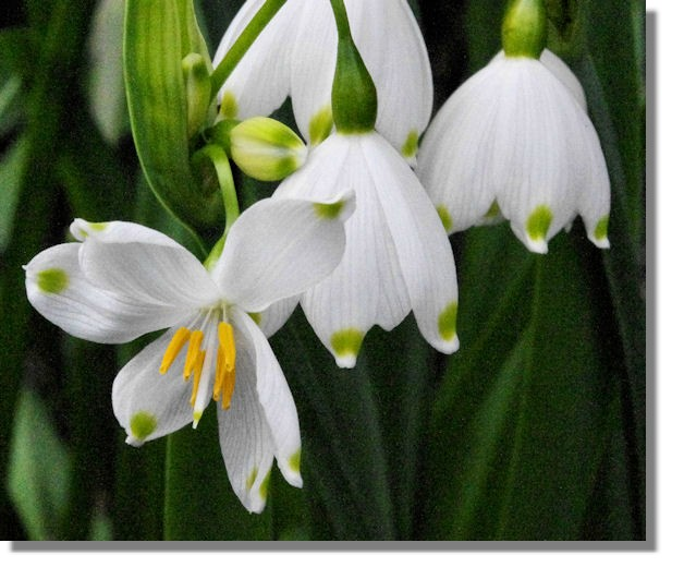 Scotties photo diary march april 2014 i always think that leucojum is like snowdrops on steroids in addition to the larger bell shape leucojum also has green spots on the white petals mightylinksfo