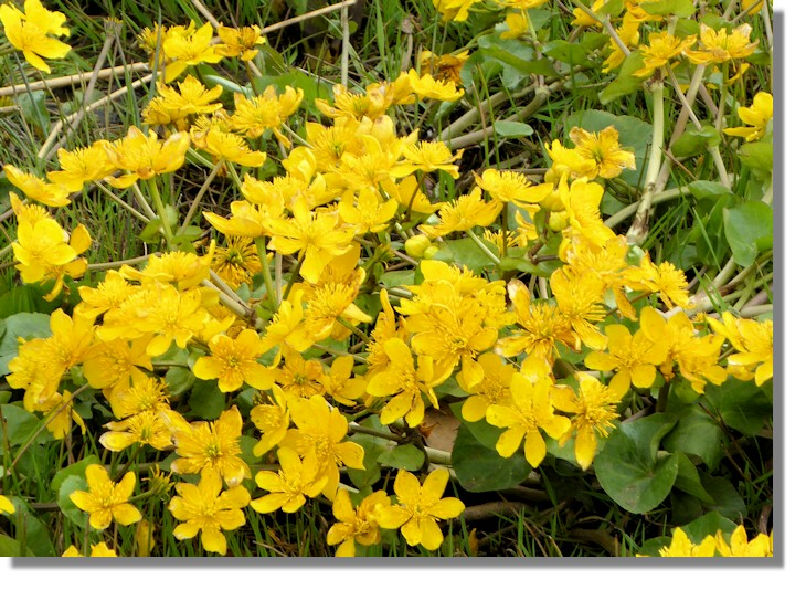 Scotties photo diary april 2017 near the loch is ideal for some plants such as marsh marigold also known as kingcup or its proper name caltha palustris its flowers are quite small mightylinksfo Image collections