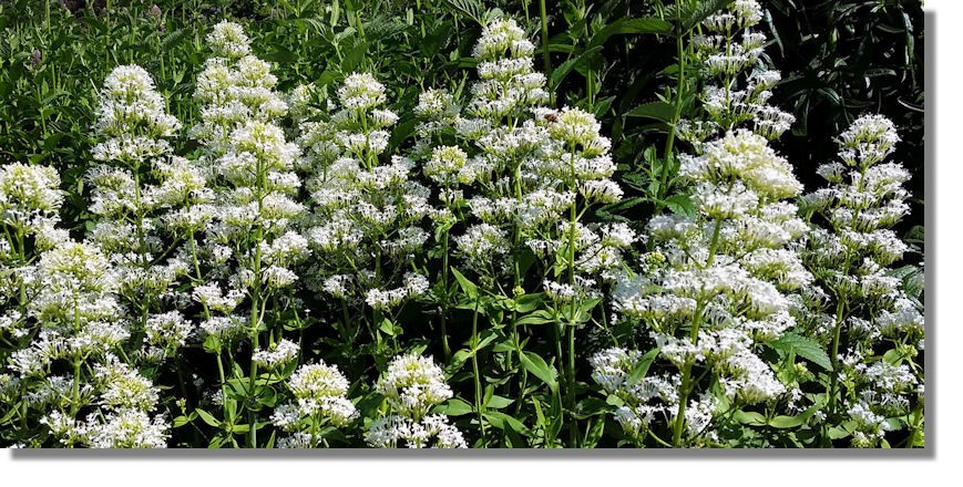 Scotties photo diary june 2014 valerian is a perennial flowering plant with heads of sweetly scented pink or white flowers that bloom in the summer months valerian flower extracts were mightylinksfo