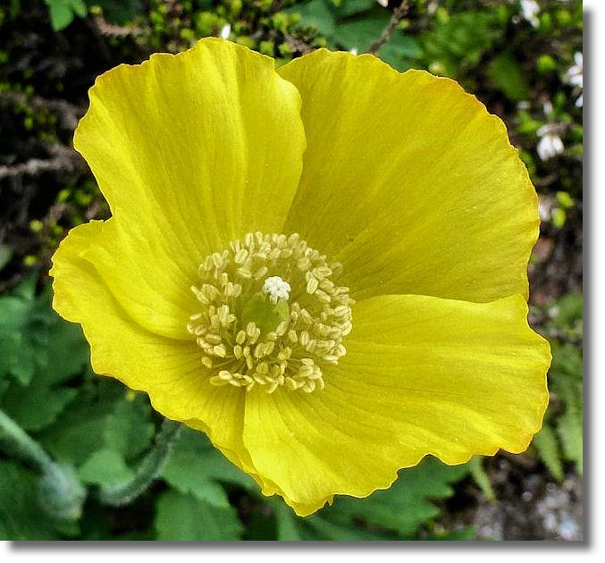 Poppy like flower choice image flower decoration ideas poppy like flower choice image flower decoration ideas poppy like flowers gallery flower decoration ideas yellow mightylinksfo