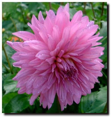 Flowers Of Scotland Summer Dahlias