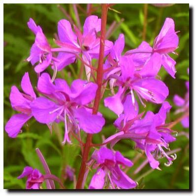Flowers of scotland summer wild flowers rosebay willowherb mightylinksfo