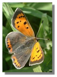 Small Coppper Butterfly