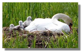 Newly Hatched Cygnets