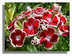Sweetwilliam Flowers on Sweet William