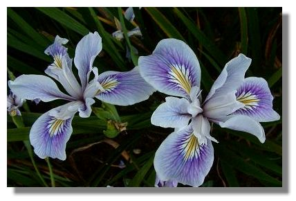 Iris Flower Picture on These Irises Were Also Photographed At Finlaystone Country Estate  In