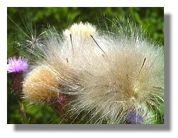 ... the seeds of thistles are borne on the light and soft thistledown