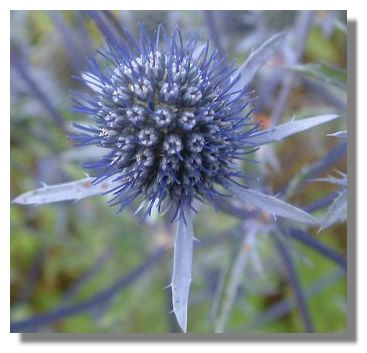 1000  images about Garden thistles on Pinterest | Homeopathy, West ...