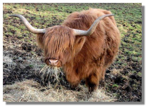 something appealing about Highland cattle. Perhaps it is their long hair
