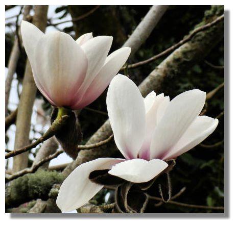 magnolia tree tattoo. number of white Magnolias,