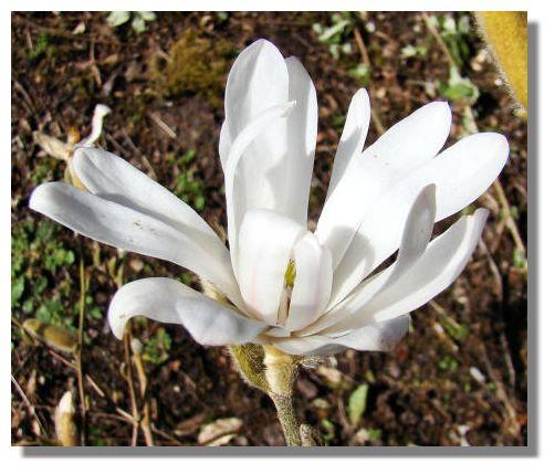 magnolia tree tattoo. Star Magnolia, or Magnolia