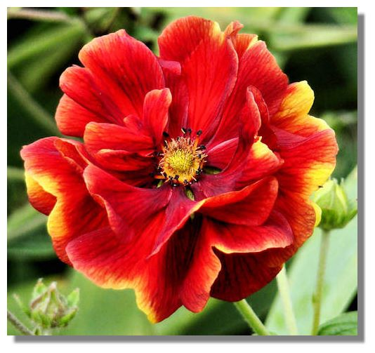 Scotland in colour week by week august week 1 potentilla usually come in shades of yellow or orange mightylinksfo
