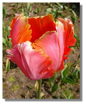 Tulips are all but over by this time in June, but the fringed varieties,